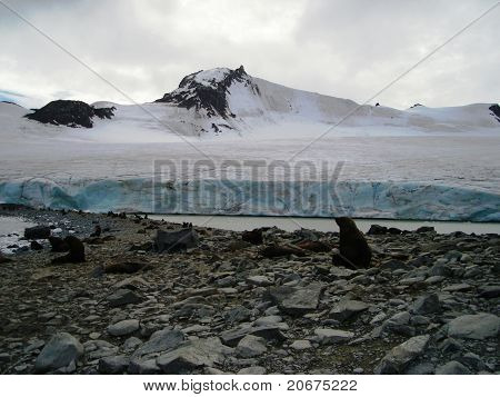Glacier Mossman and some marine wolves in Antartica