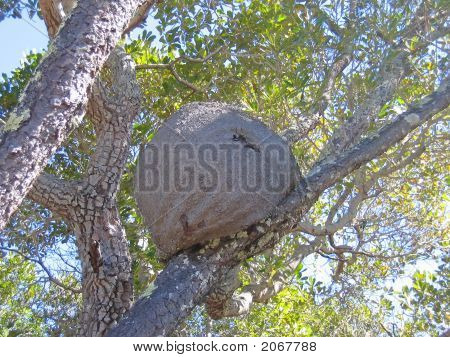 White Ant Nest In A Tree, Isalo Park, Madagascar, Panoramique