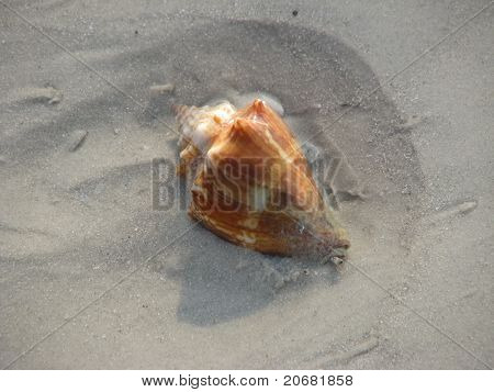 conch shell in sand