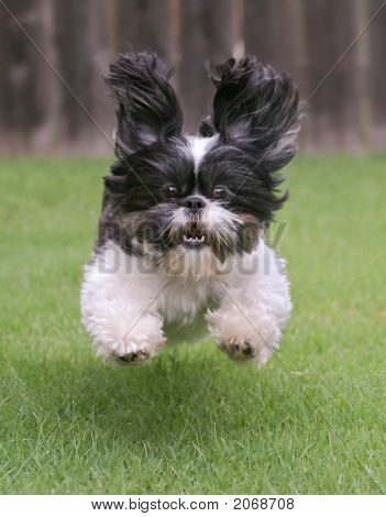 Flying Shih Tzu