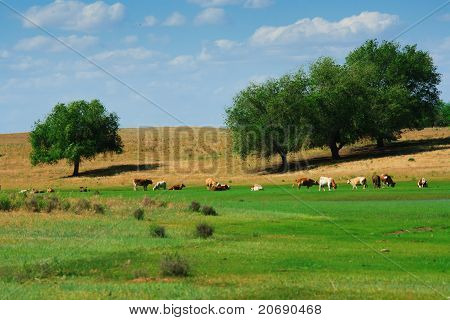 The cows in summer pasteurage