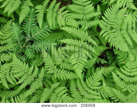 Fir In Ferns