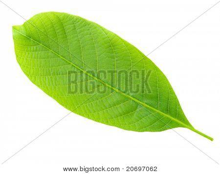 Nutwood leaf isolated on white background.