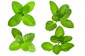 Fresh Mint Leaves Isolated poster
