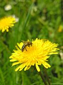 picture of farrow  - Yellow flower green spring bee field macro - JPG