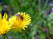 image of farrow  - Yellow flower green spring bee field macro - JPG