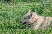 A Beautiful Siberian Laika Puppy On The Grass. Portrait Of Cute Happy Siberian Laika. poster