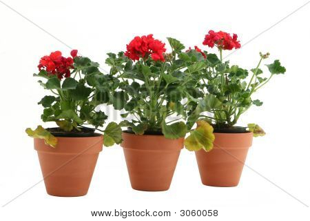 Three Geraniums