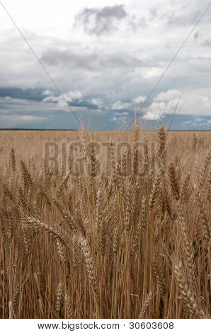 Wheatfield and clouds
