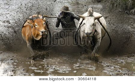 SUMATERA - FEBRUARY 11: A jockey bites the bull's tail to make it run faster in a bull race called pacu jawi on Feb 11, 2012 in West Sumatera, Indonesia. It is held after a rice harvest season.