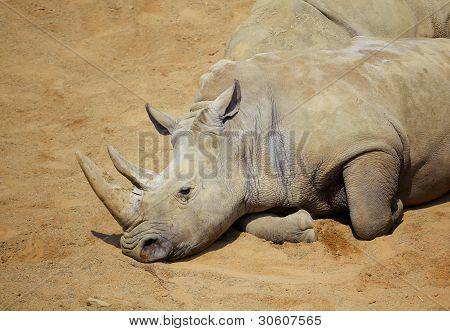 White Rhino Resting In The Sun