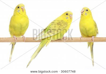 Three Yellow Budgie On Branch
