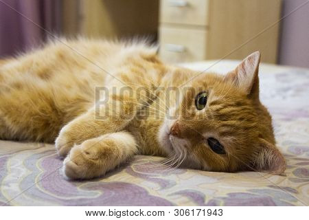 poster of Red Cat Looking Into The Camera. The Cat Is Resting On The Bed. Cat's Eyes. Copy Space
