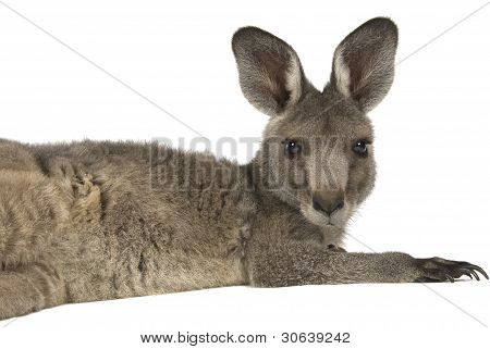 Eastern Grey joey kangaroo lying on a white background
