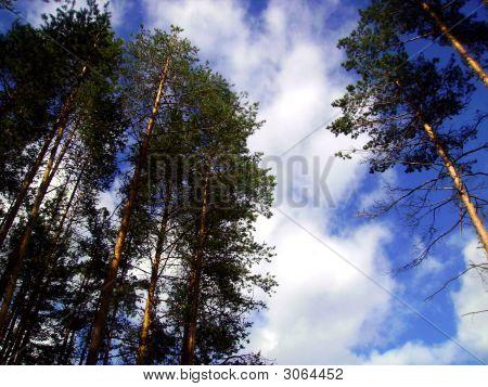 Pine Tops.