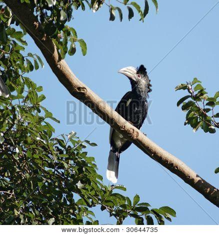Silvery-cheeked Hornbill In Uganda