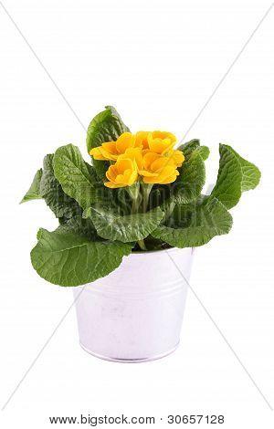 Yellow Primrose potted plant