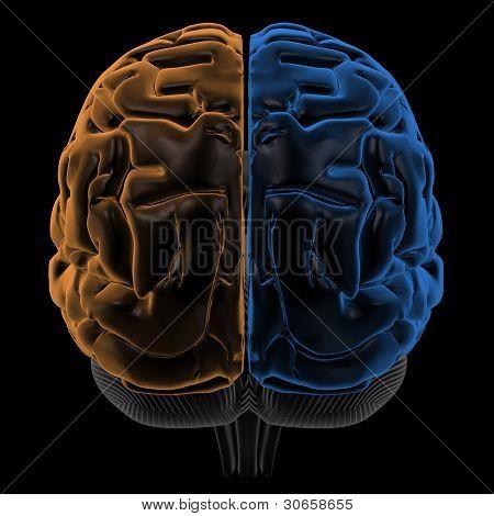 Hemispheres of the brain back view