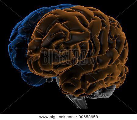 Hemispheres of the brain three quarter-view