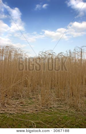 Tall Grass With Blue Sky