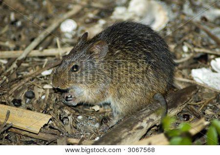 Cotton Rat
