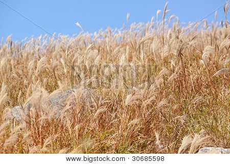 silvergrass and blue sky