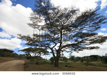 African Landscape With Acacia