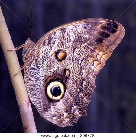 Butterfly, Giant Owl