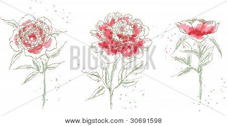 Three drawn peony