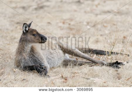 Resting Kangaroo On Kangaroo Island