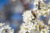 Honey Bee Collecting Pollen From Flowers. Spring Nature. Bee Collects Nectar From The White Flowers. poster