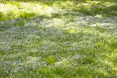 Field Meadow Of Blooming Myosotis Forget-me-nots, Background Wallpaper. Green Meadow With Blooming S poster