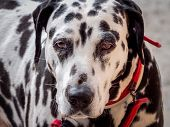 Close-up Of Dalmatian Dog With Lost Look. poster