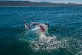 Great White Shark, Carcharodon Carcharias South Africa poster