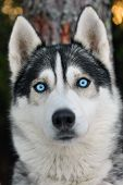 stock photo of blue eyes  - Close up photo of a husky dog in forest - JPG