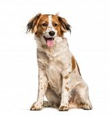 Panting Mixed-breed dog sitting against white background poster