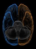 stock photo of temporal lobe  - 3D Rendering  of the two Hemispheres of the brain bottom view - JPG