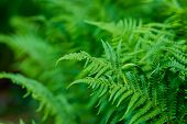 Green Fern Background.leaves Foliage Plant Bush Floral Pattern.natural Background, Green Foliage.adv poster
