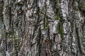 Oak Bark. Bark Texture Material Is Wood. Woody Background. Abstraction Bark. poster