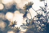 Close Up Of Wild Flowers Nature Background. Nature Background Of Wild Flower In The Sunset. Sunset N poster