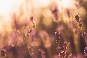 Lavender Flowers In Sunset In Nature. Sunset In Meadow Nature Background. Close Up Of Lavender Flowe poster