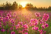 Beautiful Spring Landscape With Blooming Purple Flowers In Meadow And Sunrise. Blurred Scenery Backg poster