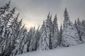 Beautiful Winter Mountain Landscape. Tall Spruce Trees Covered With Snow In Winter Forest And Cloudy poster