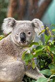 Funny koala animal winking blinking cute wink at camera at Sydney Zoo in Australia. Australia wildli poster