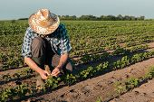 Farmer Working On Soybean Plantation, Examining Crops Development In Early Growth Stages, Responsibl poster