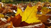 Transparent Jagged Edge Of Maple Leaf In Sunlight. Autumn Carpet From Dry Brown Leaves. Brown Maple  poster