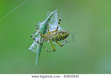 Spider Catching The Locust