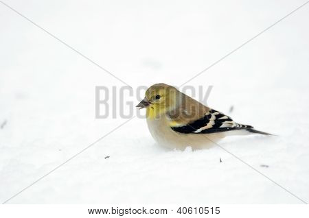 Anerican Goldfinch In The Snow