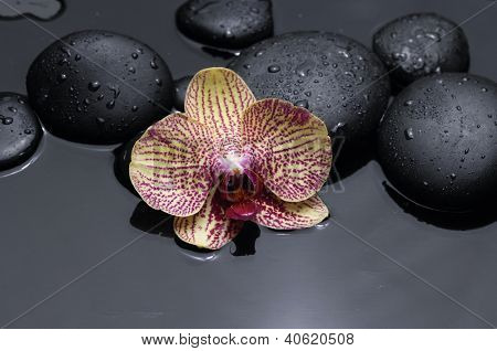 still life with pink orchid on pebble in water drop