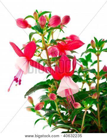 Blooming Fuchsia (fuschia Hybrida), Isolated On A White Background